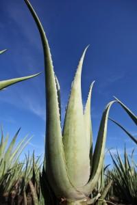 Aloe Vera Pflanze - yourbodybase